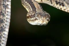 опасный rattler Стоковые Изображения