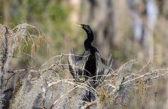 Оперение размножения змеешейки американской змеешейки мужское, охраняемая природная территория соотечественника болота Okefenokee Стоковые Изображения RF