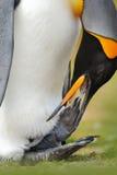 Оперение чистки пингвина Пингвин короля, patagonicus Aptenodytes сидя в траве с опрокинутой головой, Фолклендскими островами Птиц Стоковая Фотография RF