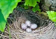 оперенные яичками триперстки гнездя Стоковые Изображения