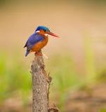 оперенный малахит kingfisher драгоценности Стоковое Изображение RF