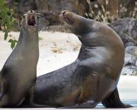 Оперетта морсого льва Стоковое Изображение
