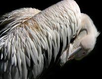 оперяет пеликан Стоковые Фотографии RF