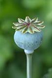 Опиумный мак - мак - somniferum Стоковая Фотография