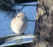Оплакивая голубь в зиме стоковые изображения rf