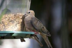 Оплакивая голубь на фидере Стоковые Изображения