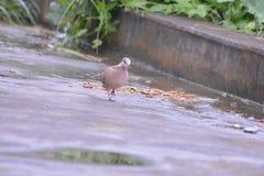 Оплакивая голубь Стоковое Фото