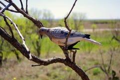 Оплакивая Decoy голубя на мертвой ветви дерева стоковые изображения rf