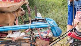Опорожнение собаки трейлером мотоцикла стоковые фотографии rf