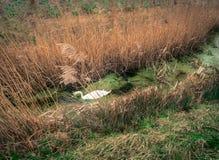 Определите белого лебедя на потоке с травой Пампаса Стоковая Фотография
