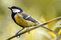 Определите большую птицу синицы на сезоне ветви дерева весной Стоковое Изображение