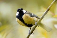 Определите большую птицу синицы на сезоне ветви дерева весной Стоковое Фото