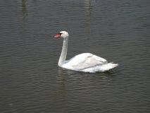 Определите заплывание лебедя Стоковые Изображения RF
