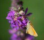 Определите коричневое насекомое бабочки на фиолетовом цветке в зеленой предпосылке Стоковые Изображения RF
