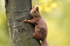 Определите красную белку на сезоне ветви дерева весной Стоковые Изображения RF