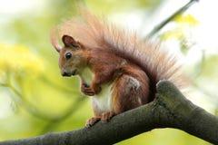 Определите красную белку на сезоне ветви дерева весной Стоковое Изображение RF