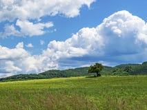 Определите одичалую сливу в непропашном поле против красивых белых облаков кумулюса Стоковое фото RF