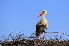 Определите птицу белого аиста на гнезде весной гнездясь сезон Стоковые Фото