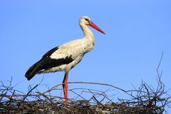 Определите птицу белого аиста на гнезде весной гнездясь сезон Стоковая Фотография RF