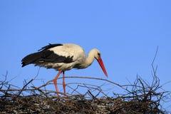 Определите птицу белого аиста на гнезде во время peri вложенности весны Стоковое фото RF
