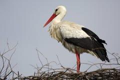 Определите птицу белого аиста на гнезде во время peri вложенности весны Стоковая Фотография