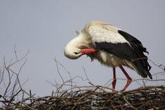 Определите птицу белого аиста на гнезде во время peri вложенности весны Стоковые Изображения RF