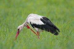 Определите птицу белого аиста на травянистом луге во время nes весны Стоковые Изображения RF