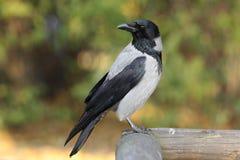 Определите с капюшоном птицу вороны на деревянной загородке во время perio осени Стоковые Фото