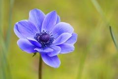 Определите фиолетовый цветок ветреницы против расплывчатой зеленой естественной предпосылки в внешней окружающей среде Стоковое Изображение RF