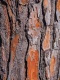 Определенная расшива сосны Стоковое Изображение RF