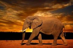 Определите африканского слона (africana Loxodonta), бежать в позднем вечере в национальном парке слона Addo Стоковые Изображения RF
