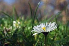 Определите белую маргаритку, маргаритку в луге зеленой травы Стоковая Фотография