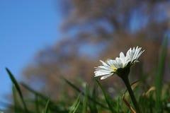 Определите белую маргаритку, маргаритку в луге зеленой травы Стоковое фото RF