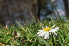 Определите белую маргаритку, маргаритку в луге зеленой травы Стоковое Изображение RF