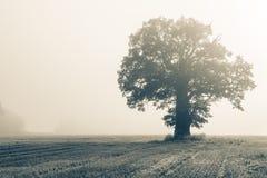 Определите большой дуб на поле в backlight Стоковые Изображения RF