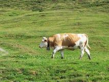 Определите корову в высокогорном выгоне Доломиты Sesto, южный Тироль, Италия стоковые изображения rf