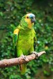 Определите, который Сине-противостоят попугая Амазонки (aestiva Amazona) Стоковые Изображения
