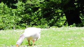 Определите отечественное domesticus anser гусыни подавая на зеленой траве сток-видео