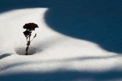 Определите сухой завод в белом снеге около теней Стоковое Изображение