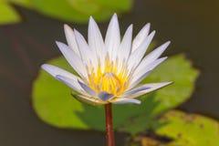 Определите цветень желтого цвета цветка белого лотоса зацветая в пруде Стоковое фото RF