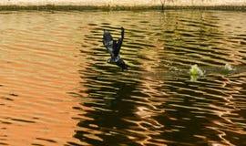 Определите черную птицу баклана в полете над пробовать озера Sagar человека Стоковые Изображения