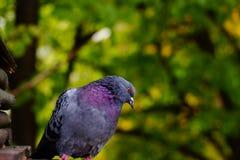 Опрокидывают серый голубя на фоне зеленых ветвей дерева, голова к стороне Стоковое Изображение RF