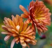 Оптимистические хризантемы апельсина фото макроса стоковое фото