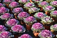 оптовая продажа торговлей sierkool brassica Стоковые Изображения RF