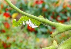 Опустошенные томат/табак Hornworm как хозяин к паразитной осе braconid eggs Стоковые Фотографии RF