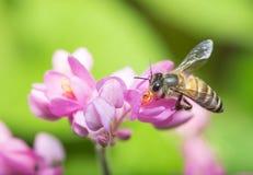 Опыление пчелы Стоковые Фотографии RF