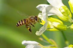 опылять цветка пчелы Стоковые Фотографии RF