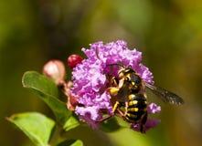 опылять цветка пчелы anthidium mauve Стоковое Изображение