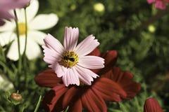 Опыление насекомого Стоковая Фотография RF