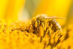 Опылять пчелы меда покрытый с цветнем на желтом солнцецвете Стоковое Изображение RF